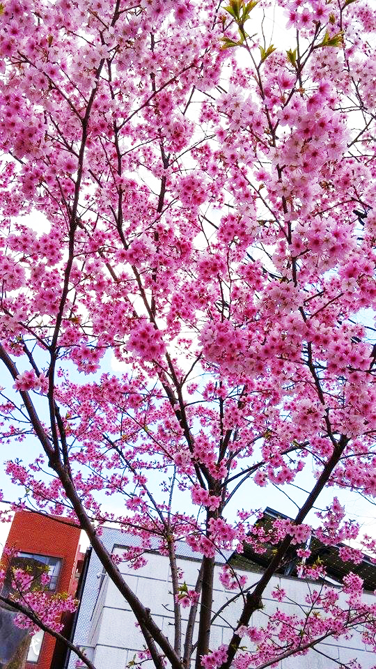 広場に咲く桜の花